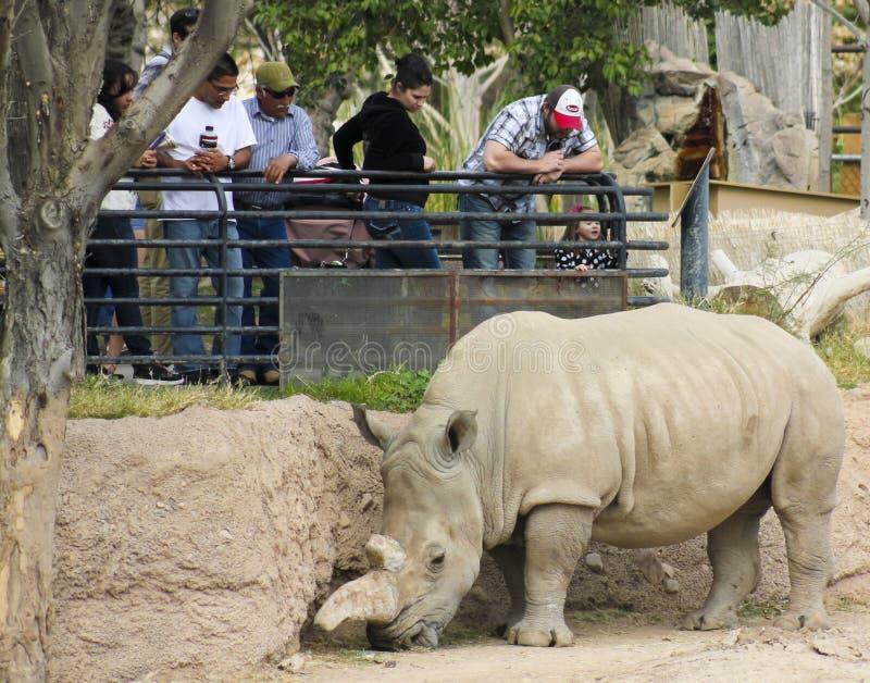 Un rinoceronte a Reid Park Zoo fotografia stock