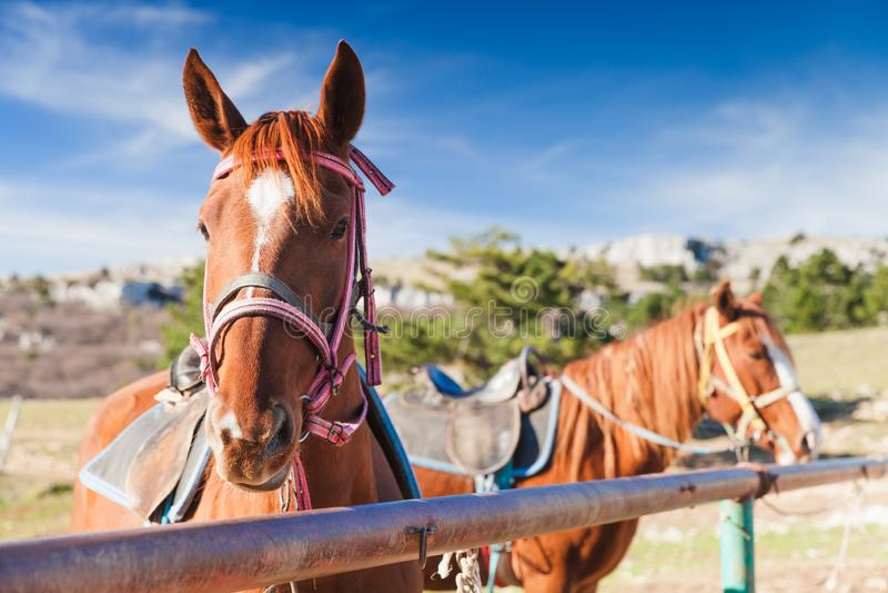 Un ritratto del primo piano di due cavalli rossi fotografia stock libera da diritti