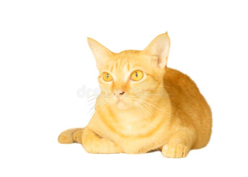 Un ritratto della bugia gialla del gatto sopra, dell'animale flufy dei peli isolato su fondo bianco con il percorso di ritaglio e immagine stock libera da diritti