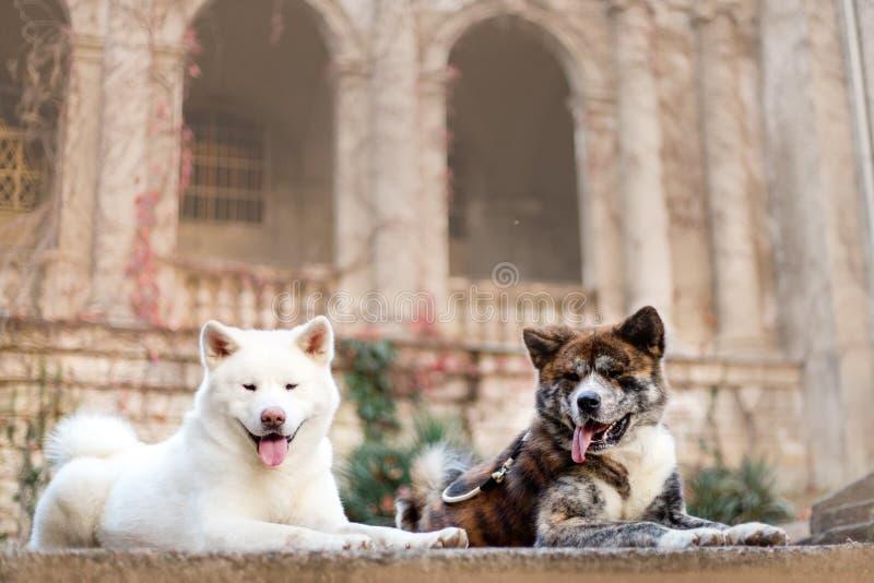 un ritratto di bella Akita disposizione giapponese felice del cane di due Castello su fondo immagini stock