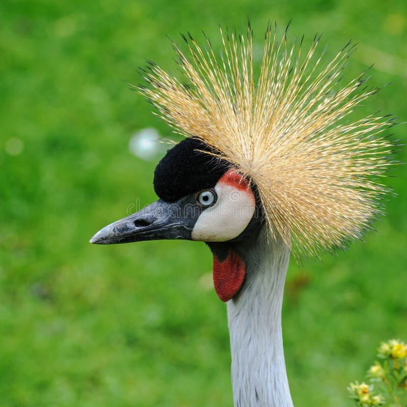 Un ritratto di bello Grey Crowned Crane fotografia stock libera da diritti