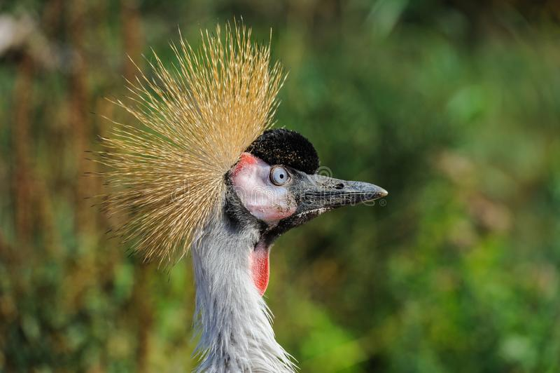 Un ritratto di bello Grey Crowned Crane immagini stock libere da diritti