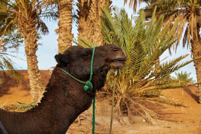 Un ritratto a di un cammello del dromedario immagini stock libere da diritti