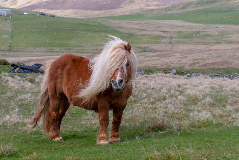 Un ritratto di un cavallino di Shetland solo su uno Scottish la attracca sul immagini stock