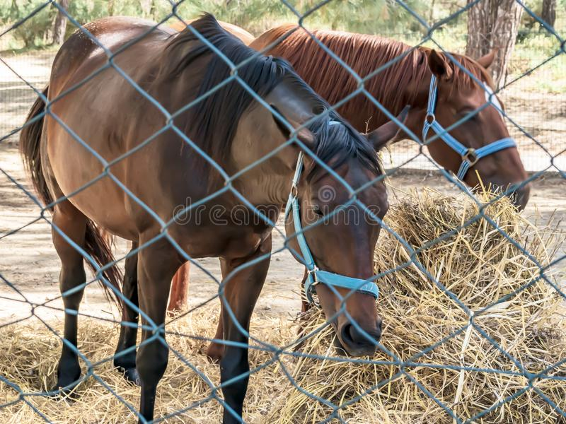 Un ritratto di due bei cavalli marroni crescere che mangiano fieno in recinto chiuso Alimentazione dei cavalli da equitazione immagini stock