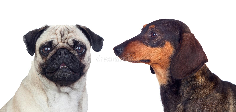 Un ritratto di due cani differenti fotografia stock