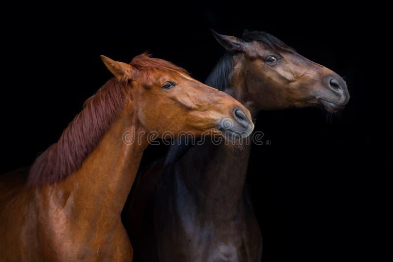 Un ritratto di due cavalli fotografia stock