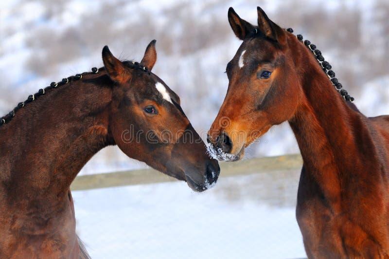 Un ritratto di due giovani cavalli fotografie stock