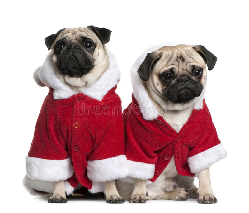 Un ritratto di due Pugs, vestito in cappotto della Santa immagine stock libera da diritti