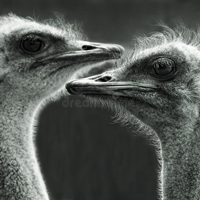 Un ritratto di due struzzi immagini stock libere da diritti