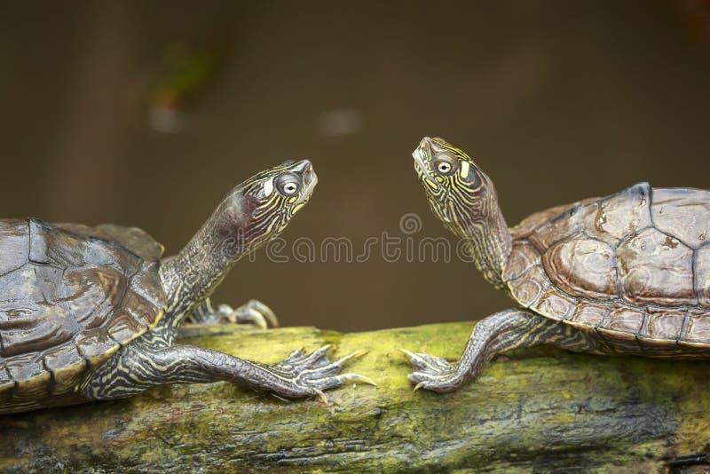 Un ritratto di due tartarughe che si affrontano mentre prendendo il sole sul wo immagini stock