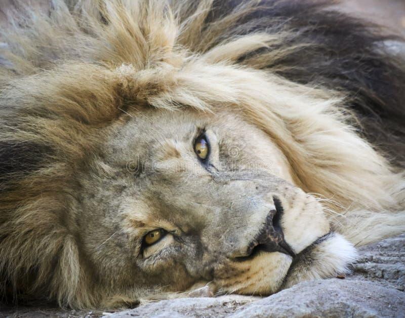 Un ritratto di un leone maschio che bighellona sulla terra immagine stock