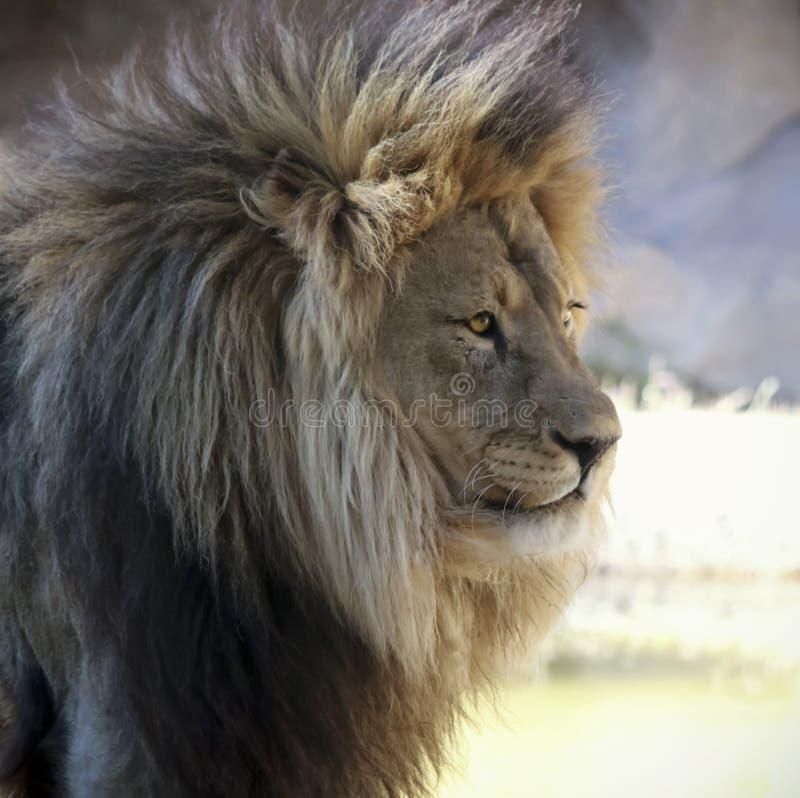 Un ritratto di Lion Male africano fotografie stock