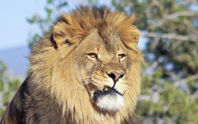 Un ritratto di Lion Male africano fotografie stock libere da diritti