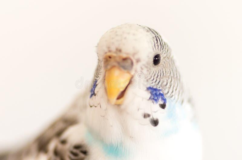 Un ritratto di un pappagallino ondulato bianco immagine stock