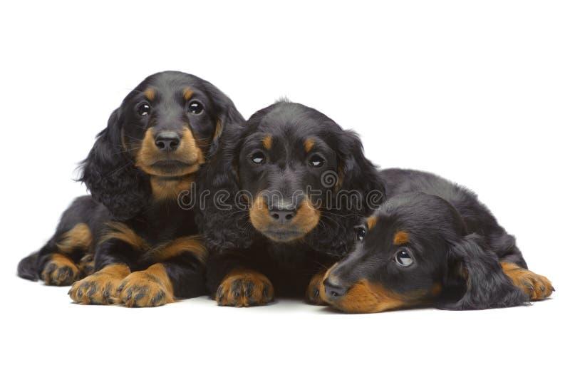 Un ritratto di tre cuccioli situantesi del Dachshund fotografie stock