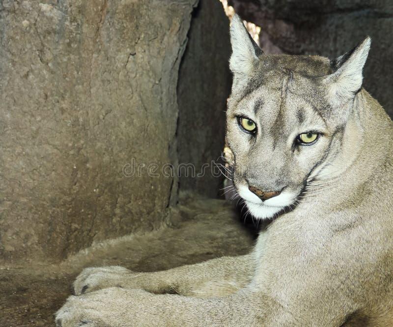 Un leone di montagna in suo ritratto della tana fotografie stock
