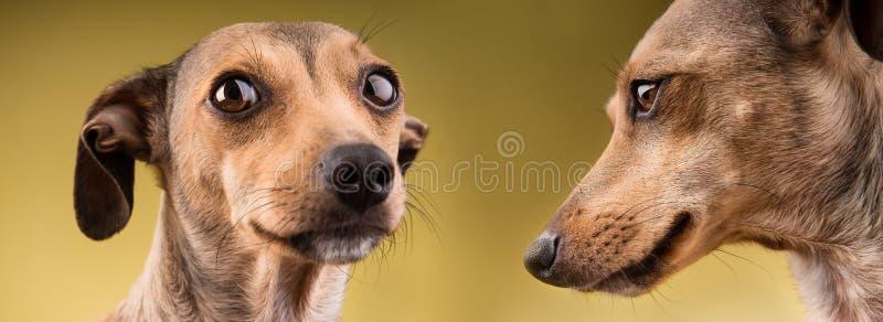 Un ritratto divertente di due cani immagini stock