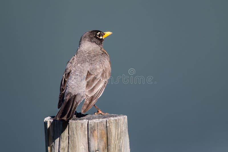 Un Robin américain perché sur un poteau de clôture en bois image libre de droits