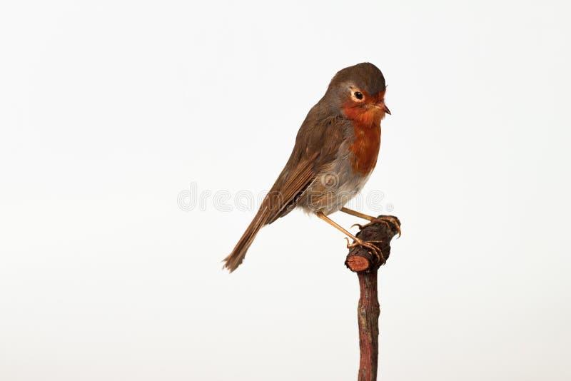 Un Robin breasted par rouge d'isolement sur le blanc photo libre de droits