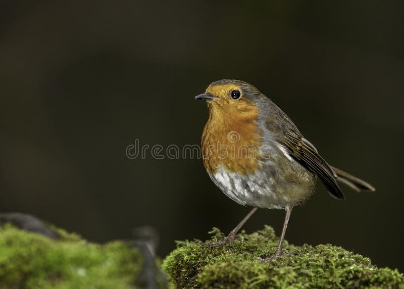 Un Robin maschio europeo fotografia stock