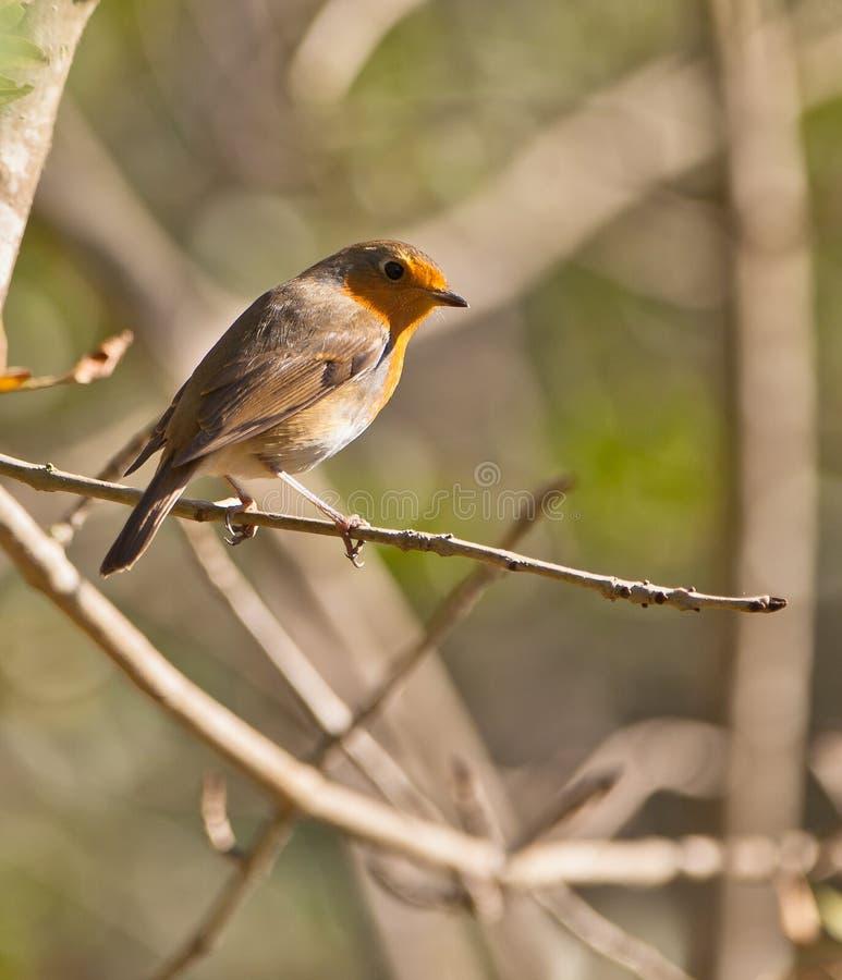 Un Robin nel sole di autunno immagine stock libera da diritti