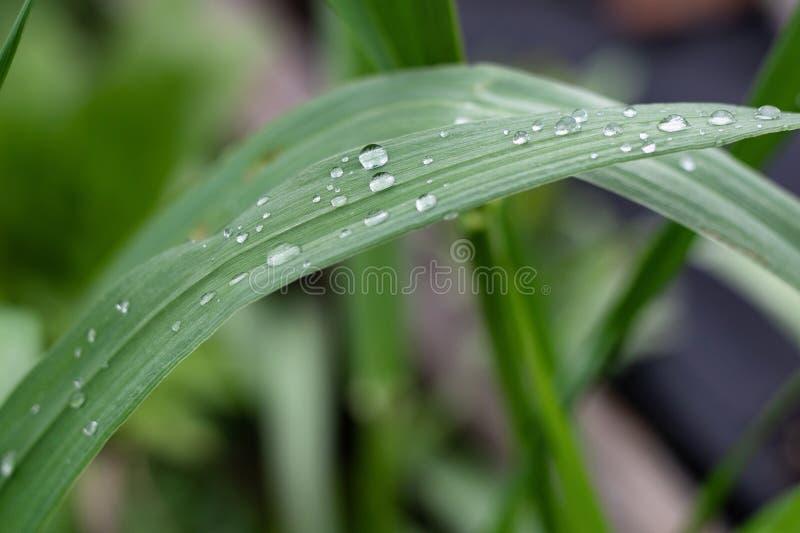 Un rocío de la mañana en hierba fresca joven imagen de archivo