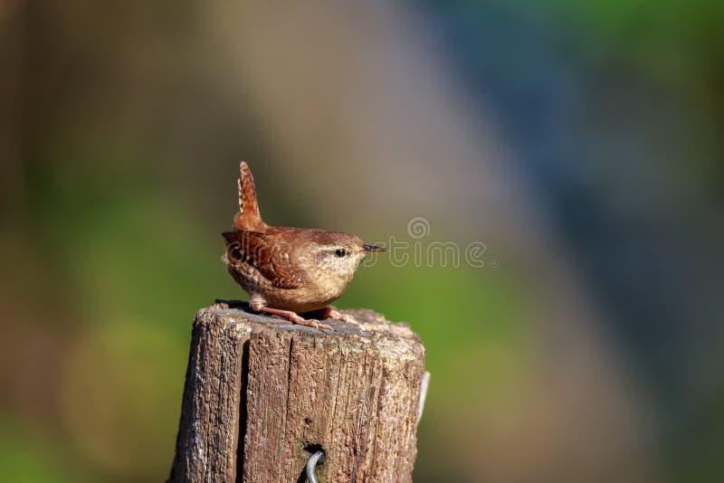 Un roitelet eurasien sur un courrier de jardin photos stock