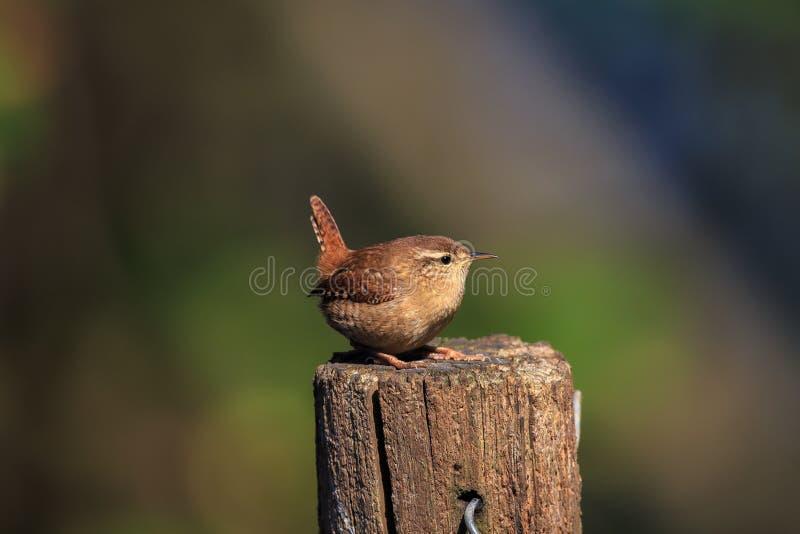 Un roitelet eurasien sur un courrier de jardin image stock