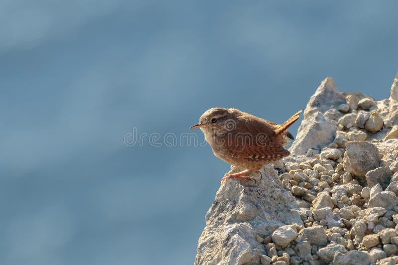 Un roitelet ou le roitelet d'Eurasien, troglodytes de troglodytes, était perché sur un r image stock