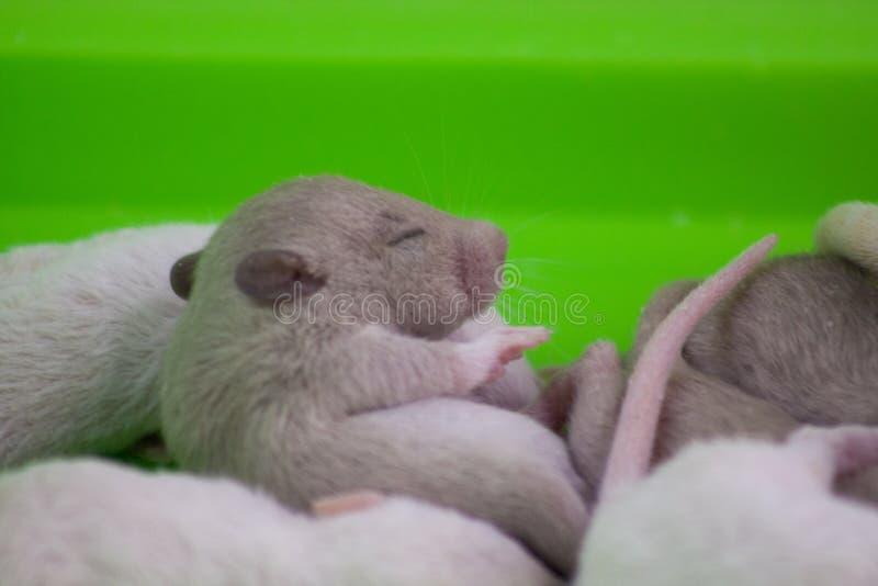 Un rongeur nouveau-né ment à côté de ses frères. Gros plan de la souris images stock