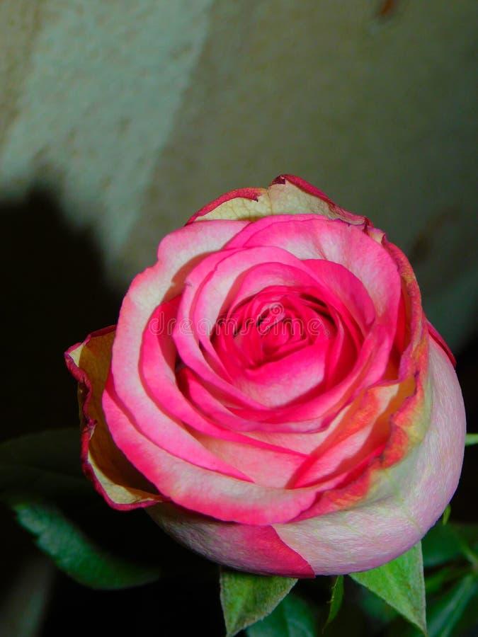 Un rosa è aumentato fotografie stock libere da diritti