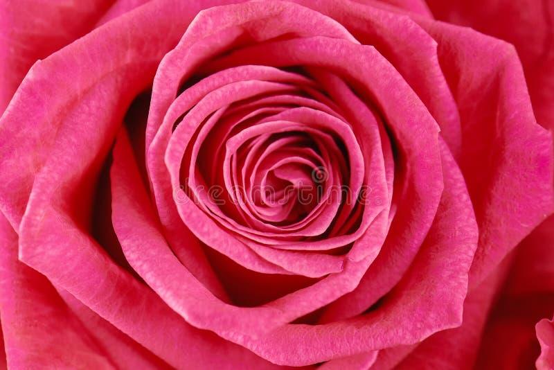 Un rosa è aumentato primo piano Macro foto immagine stock