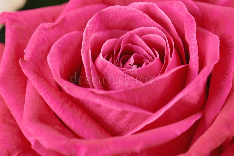 Un rosa ? aumentato primo piano Macro foto, bella fotografia stock libera da diritti