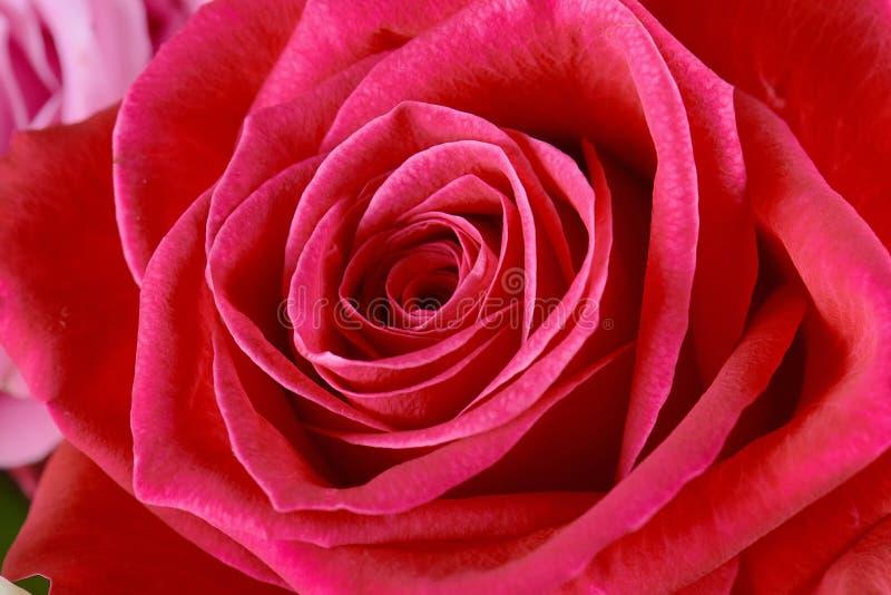 Un rosa ? aumentato primo piano Macro foto, bello fondo floreale fotografia stock libera da diritti