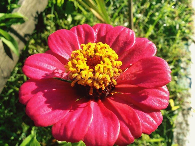 Un rosa de la flor con grande hermoso y maravilloso amarillo fotografía de archivo