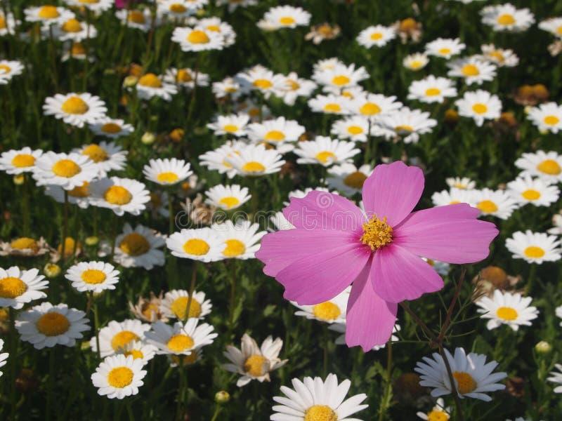 Un rosa nel bianco del crisantemo fotografie stock