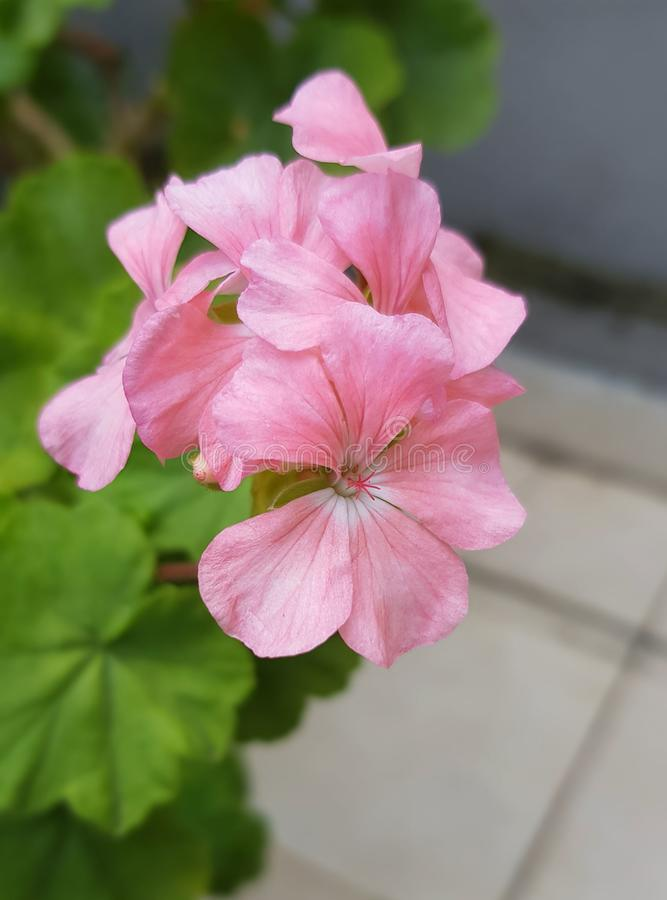 Un rose de fleur photo stock