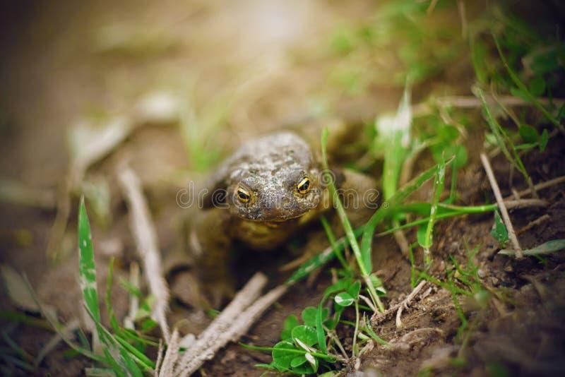 Un rospo si siede sulla terra bagnata fra l'erba verde fotografie stock libere da diritti