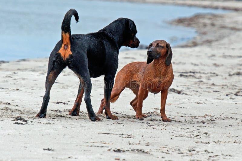 Un Rottweiler dice un perro b?varo de la monta?a, que es l?der imagen de archivo