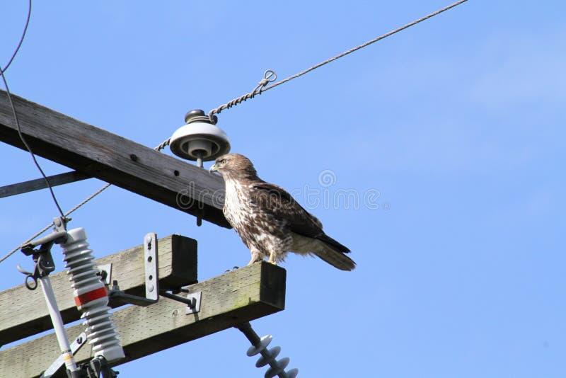 Un rouge a coupé la queue le faucon été perché sur un poteau de puissance photographie stock libre de droits