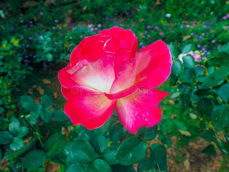 Un rouge fleurit avec les feuilles vertes photographie stock