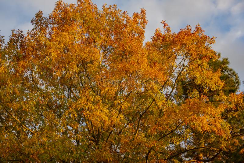 Un rubra rouge énorme de quercus de chêne avec les feuilles d'or au coucher du soleil contre un ciel bleu Motif d'automne images stock