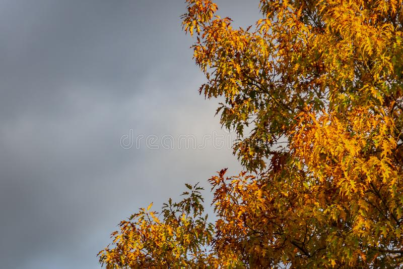 Un rubra rouge énorme de quercus de chêne avec les feuilles d'or au coucher du soleil contre un ciel gris Motif d'automne images libres de droits
