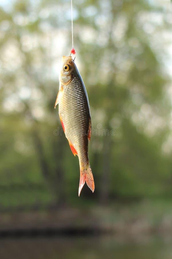 Un rudd de los pescados del río en el gancho, o el erythrophthalmus del Scardinius imagenes de archivo