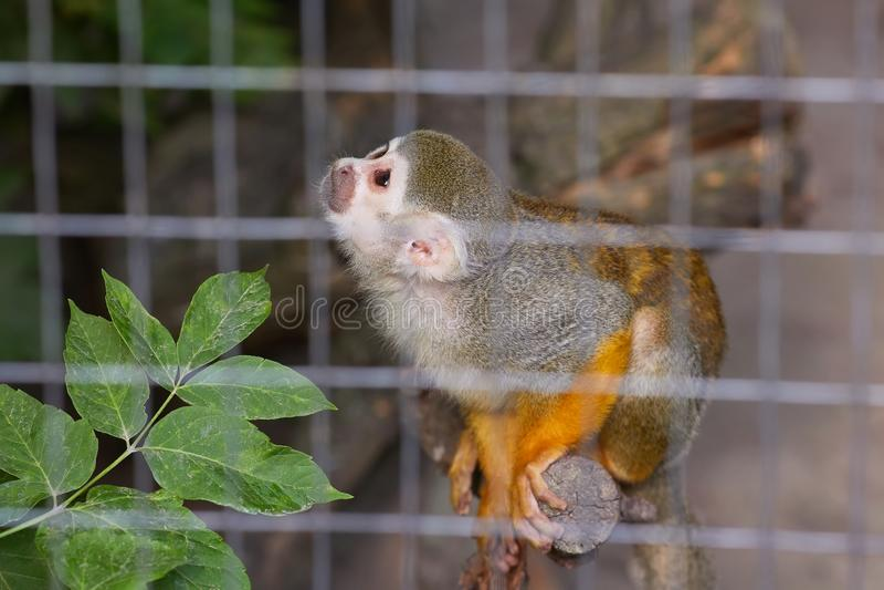 Un sabaeus verde di Chlorocebus della scimmia di Vervet sta sedendosi immagine stock libera da diritti