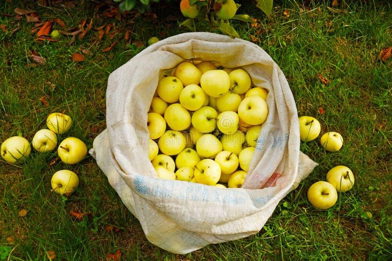 Un sac complètement des pommes de maturation précoces, transparent jaune photographie stock libre de droits