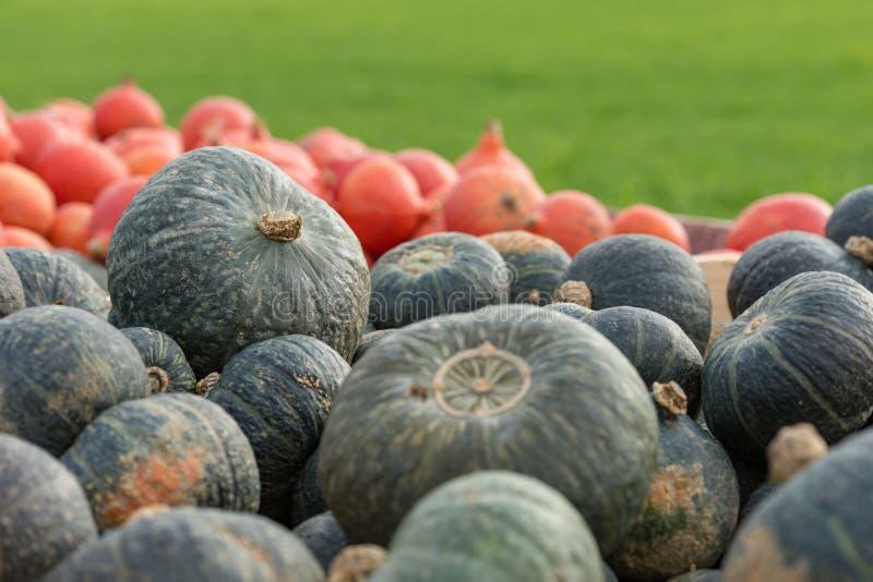 Un sacco di Crown Prince e Hokkaido Pumpkins fotografie stock