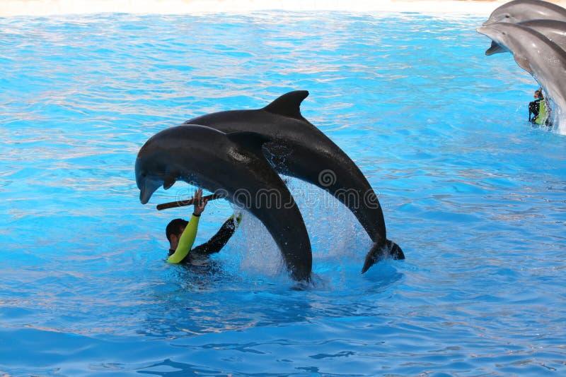 Un salto dei due delfini immagine stock