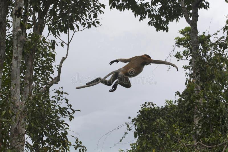 Un salto della nasica, del larvatus del Nasalis o della scimmia dal naso lungo, Indonesia immagini stock libere da diritti